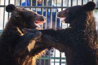 Молодым медведям исполнился год, они родились прошлой весной.