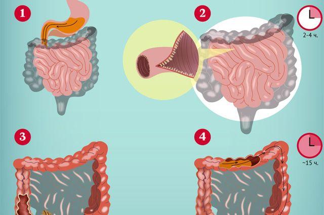 Как работает кишечник человека? Инфографика