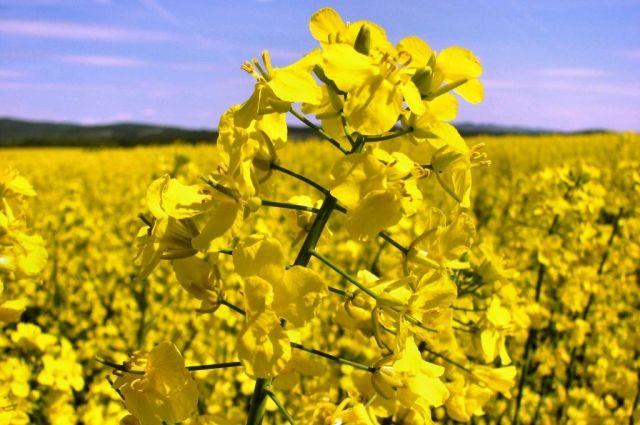 Эксперимент по выращиванию рапса агрохолдинг «Саянский бройлер» начал в 2017 году.