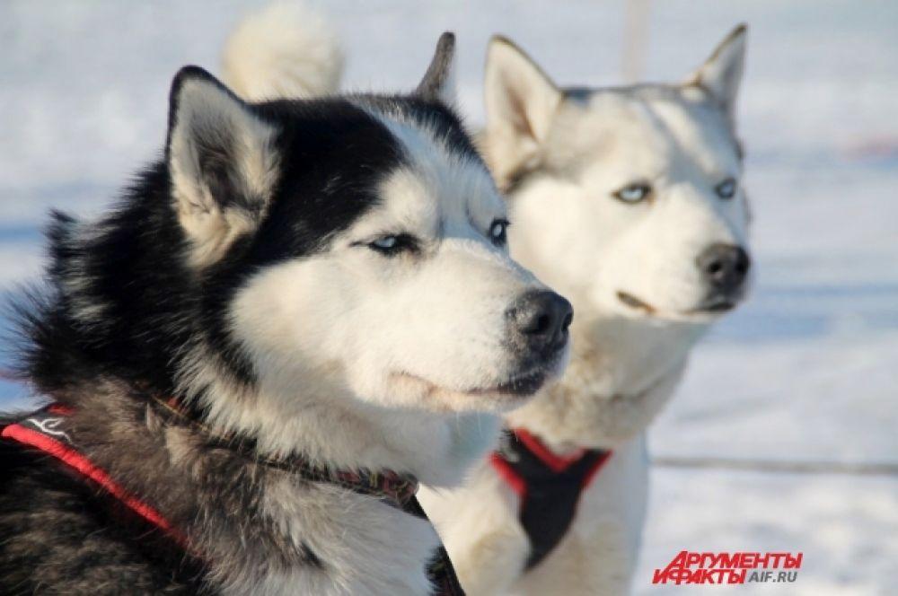 Соревнования проходят по маршруту от «Ледокола» до Листвянки через Сибирскую заимку, Прибайкальскую и приют старателей.