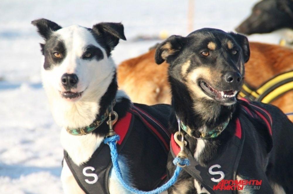 Судейскую команду возглавила Лидия Рябухина – главный судья различных соревнований в Хабаровском крае, владелица деревни северных ездовых собак «Хаси-Бури». В 2018 году она была помощником главного судьи на гонке «Baikal Race – 2018».