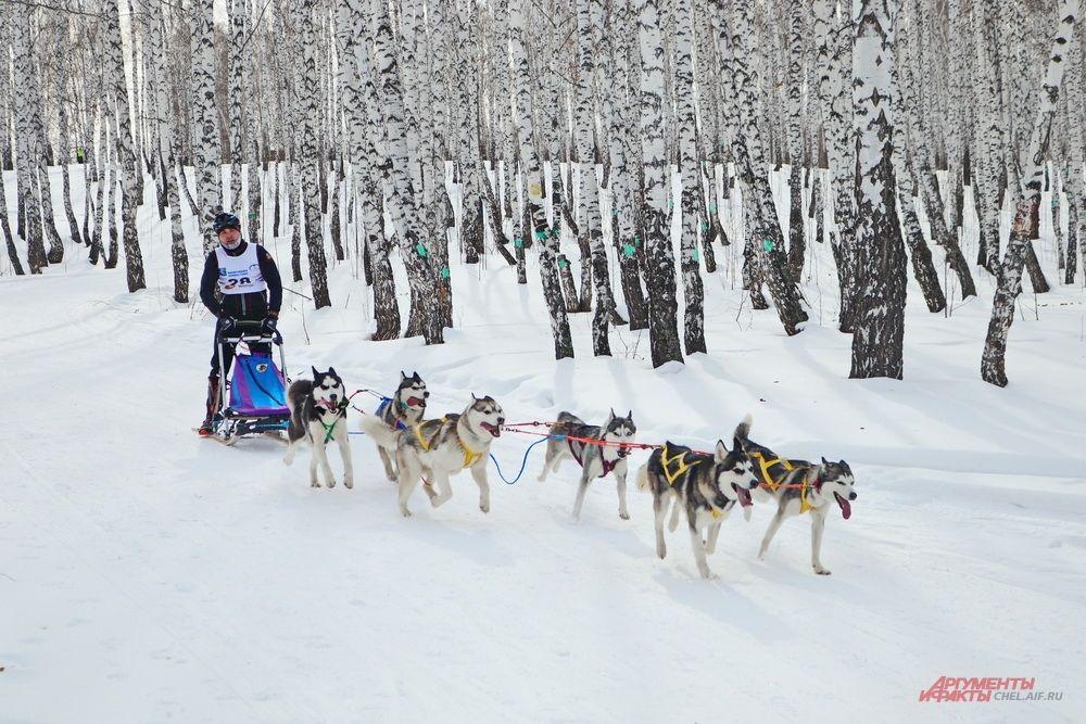 Наступил черёд самых массовых забегов, когда в одной упряжке были сразу шесть собак.