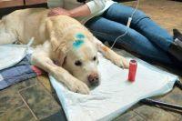 Сейчас восьмилетний Лавруша (так назвали лабрадора) находится на передержке. Благодаря лечению в ветклинике, собака пошла на поправку.