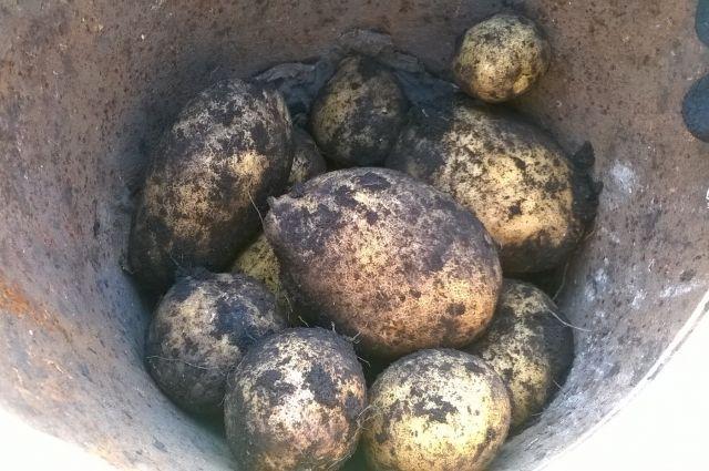 В поле под Омском неизвестные выкинули тонну картошки