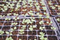 В начале весны садоводы сеют на рассаду паслёновые культуры.