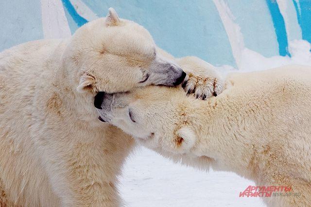 Еще в декабре у главных знаменитостей Новосибирского зоопарка, медведей Кая и Герды, родились два медвежонка.