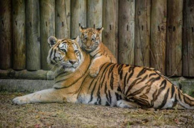 Тигрица с тигрятами попала в объектив фотоловушки в Хабаровском крае.