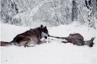 Волки объявились в Комсомольском заповеднике.