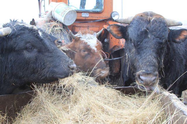 Ученые предположили, что предки коров были хищниками