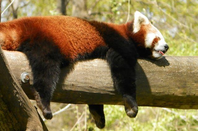 Пуньи любят повыше: Новосибирский зоопарк заказал вольеры для красных панд