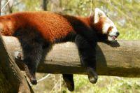 Малая панда включена в списки Международной Красной книги со статусом «Подвергающийся опасности».