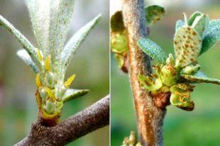 Женское дерево — слева, мужское — справа.