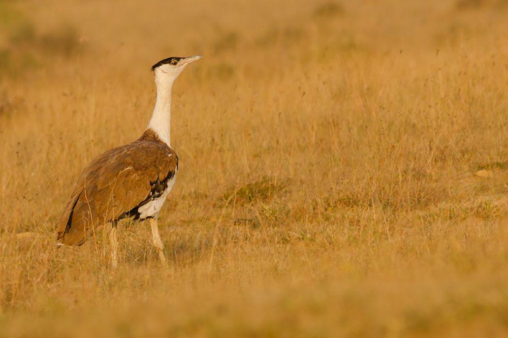 Индийская большая дрофа. Суммарная численность вида, обитающего в Индии и Пакистане, не превышает 300 птиц и снижается.