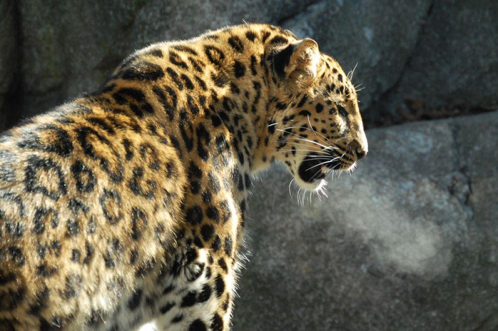 Дальневосточный леопард. Это самый редкий из подвидов леопарда: по данным 2017 года, в дикой природе в России сохранилось 87 особей на территории национального парка «Земля леопарда» и от 8 до 12 в Китае.