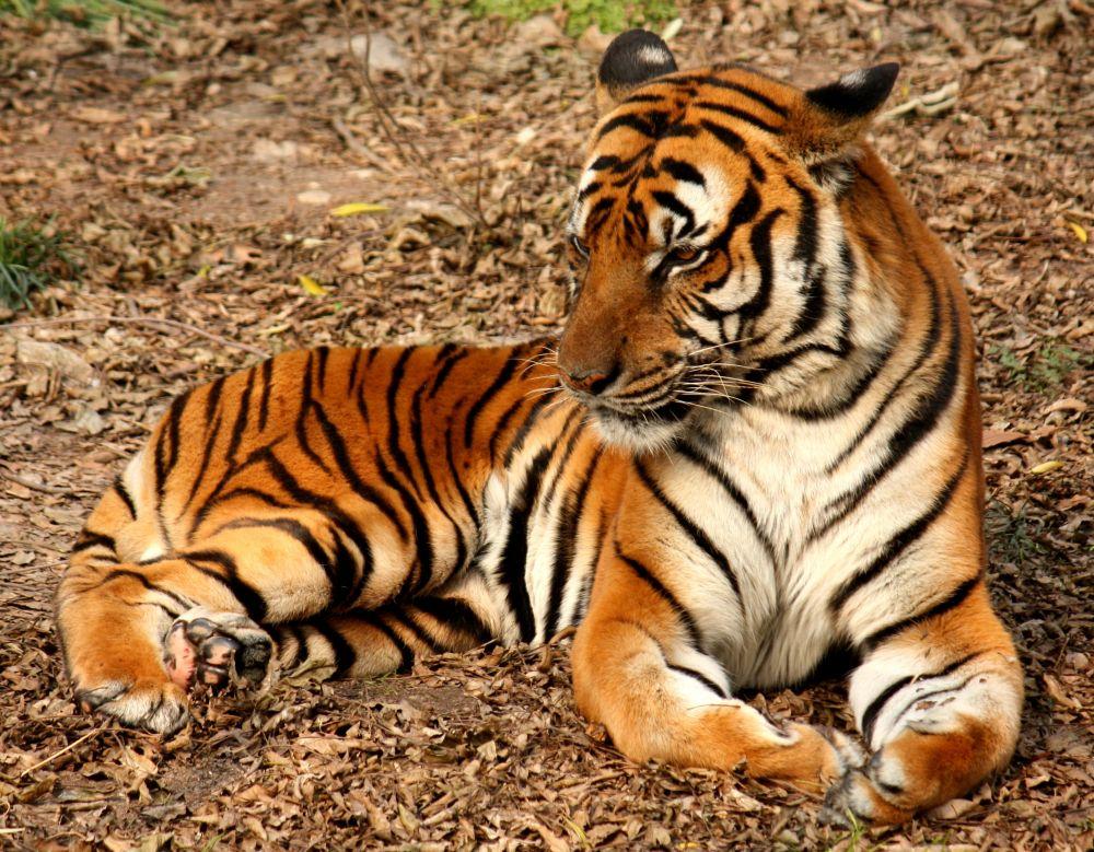 Китайский тигр. По оценке экспертов, в мире существует приблизительно 20 особей.
