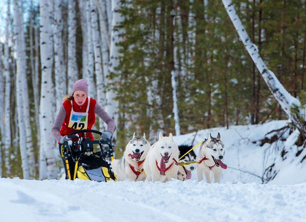 Упряжки из 4 собак. 1 место - Алёна Тимошенко (Каменск-Уральский)
