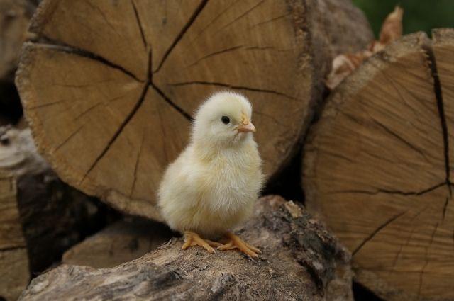 В регионе на начало этого года в хозяйствах всех категорий содержится больше 8,5 млн голов птицы.
