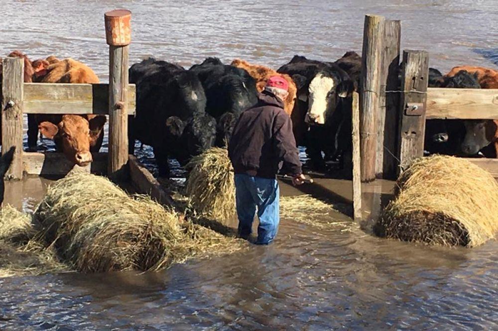 Фермер пытается защитить коров от поднявшейся вода, Миллиган, Небраска.