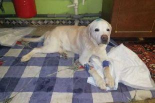 Пёс выздоравливает и уже начал самостоятельно ходить. Искать новых хозяев собаке пока не торопятся.