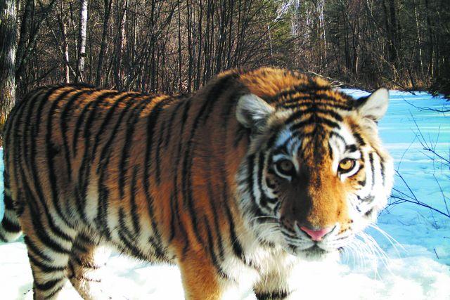 Беззубый тигр попытался загрызть корову в Хабаровском крае.