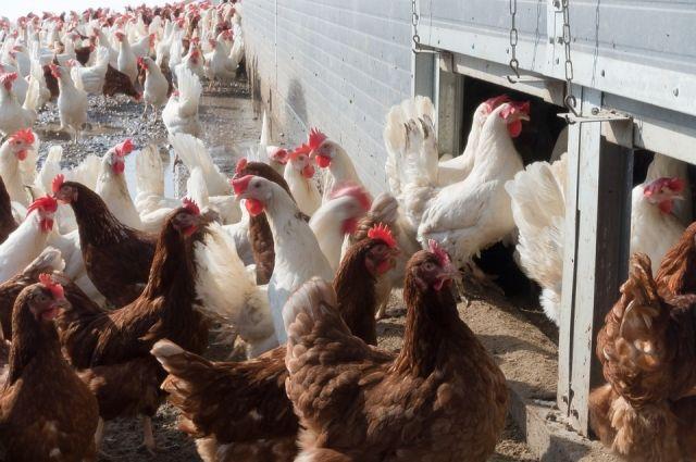 На тюменской птицефабрики построили каркас первого птичника