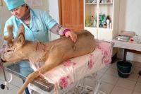 Повезло дважды: В Ясном ГО спасают раненную браконьерами косулю