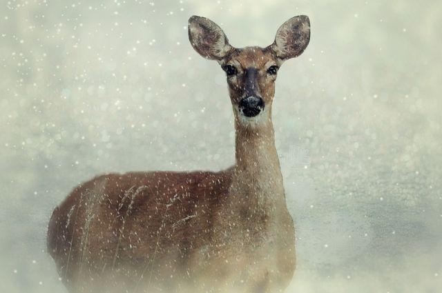 Двое нарушителей на снегоходе незаконно добыли несколько сибирских косуль на территории заказника.