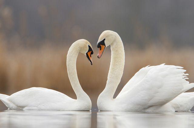 Лебеди образуют пары на всю жизнь.