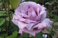 Роза Blue Moon.