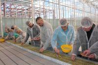 Когда тепличный комплекс заработает на полную мощность, здесь будут расти 130 тысяч саженцев огурца и томата.