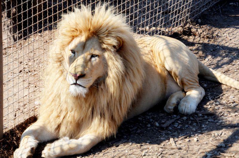 Отец семейства - белый лев Рокки.