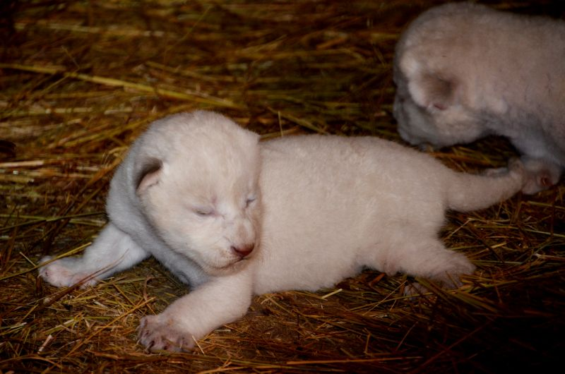 Всего белых львов в мире насчитывается не более 300.