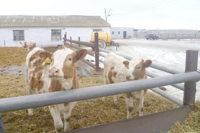 Ферма, где голодали и мерзли полсотни коров, вновь была проверена Министерством сельского хозяйства республики.