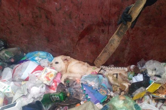 Умирающего лабрадора нашли в мусорном баке. Собака была придавлена диваном.