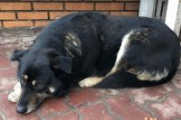 Собаку Сгущенку, у которой внезапно умерла хозяйка, прозвали курской Хатико.