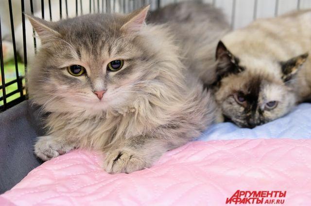 Международная выставка кошек проходит на Пермской ярмарке.