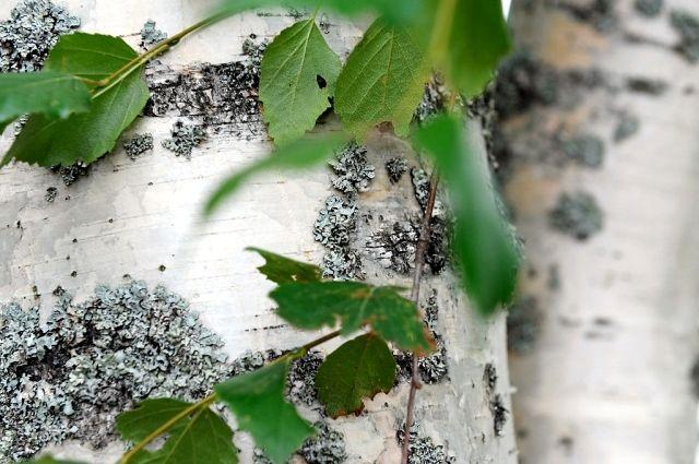 На этой неделе в Украине зацветут березы, что крайне негативно скажется на самочувствии чувствительных к березовой пыльце аллергиков.
