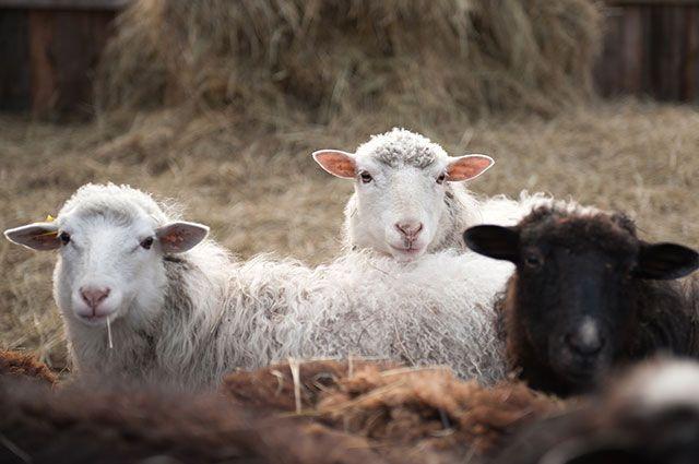 Овцы на домашнем подворье в одной из деревень Первомайского района Томской области.