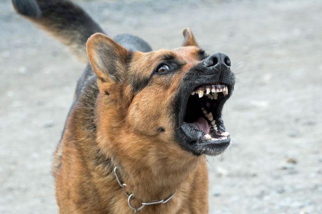 Собаки окружили подростка, он отпугнул их криками и палкой.