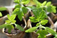 В апреле сеют семена огурцов на рассаду.