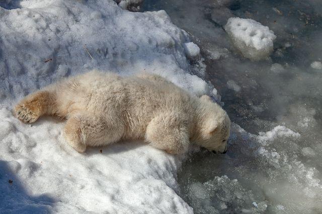 Хоть медвежата и подросли, но на прогулку все равно выходят под присмотром мамы.