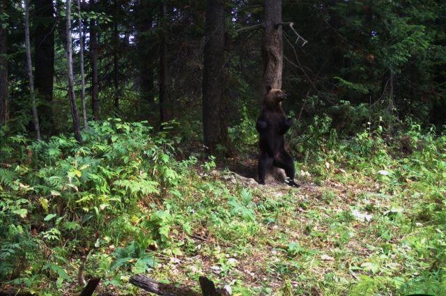 Медведедь попал в фотоловушку на «Столбах».