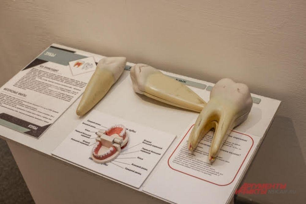 Как устроена челюсть человека, какие виды зубов существуют и почему так важно за ними ухаживать? Обо всем этом можно узнать на выставке.