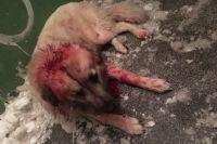 Свидетели и очевидцы происшествия рассказали,  что покалеченного и истекающего кровью пса они обнаружили возле подъезда дома, после чего отвезли собаку в приют, где ей занялись ветеринары.