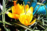 Сколько стоит сорванный тюльпан Шренка в Оренбуржье?