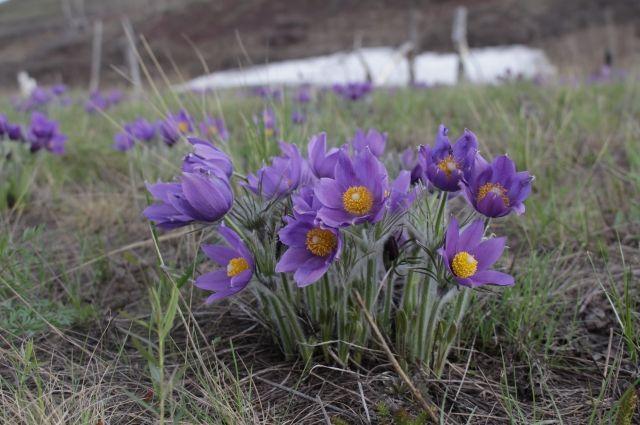 В Оренбурге пройдут рейды по продавцам первоцветов