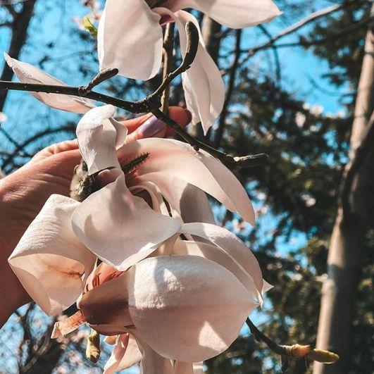 Период цветения в Киеве длится около месяца – до середины мая, а пик приходится на вторую половину апреля.