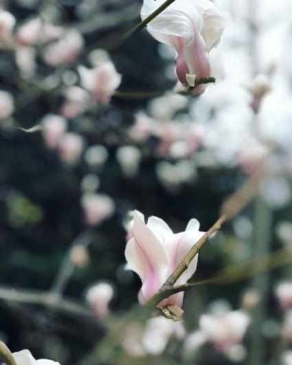 Сначала распускаются белые цветы, потом будут цвести розовые и красные магнолии.