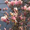 В Ялте цветут розовые магнолии: как же это красиво!