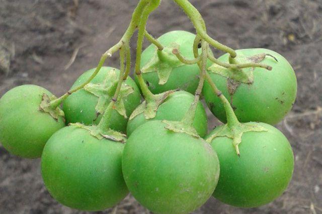 Плоды картофеля.
